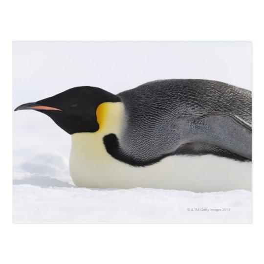 Emperor Penguin, Snow Hill Island, Weddell Sea, Postcard
