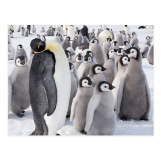 Emperor Penguin with Chicks postcard