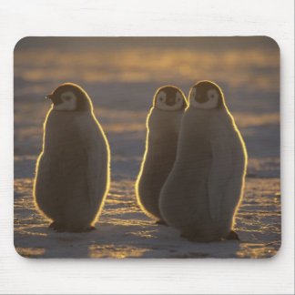 Emperor Penguins, Aptenodytes forsteri), 2 Mouse Pad