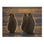 Emperor Penguins, Aptenodytes forsteri), 2 Post Cards