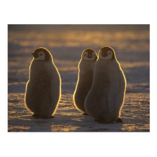 Emperor Penguins, Aptenodytes forsteri), 2 Postcard