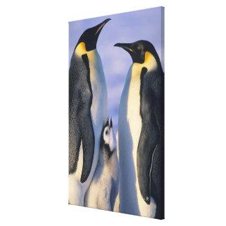 Emperor Penguins (Aptenodytes forsteri) Adults Gallery Wrap Canvas