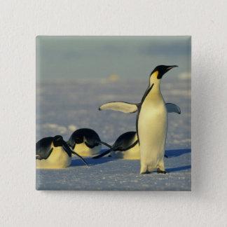 Emperor Penguins, Aptenodytes forsteri), Button