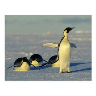 Emperor Penguins, Aptenodytes forsteri), Postcard