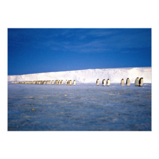 Emperor penguins by moonlight, Antarctica Announcement