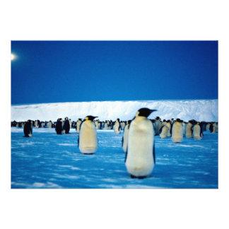 Emperor penguins by moonlight, Antarctica Invite