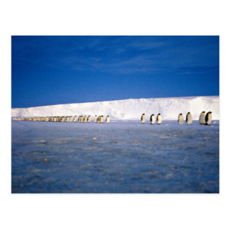 Emperor penguins by moonlight, Antarctica Post Card