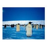 Emperor penguins by moonlight, Antarctica Postcard