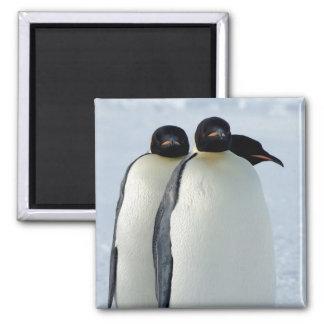 Emperor Penguins Huddled 2 Inch Square Magnet