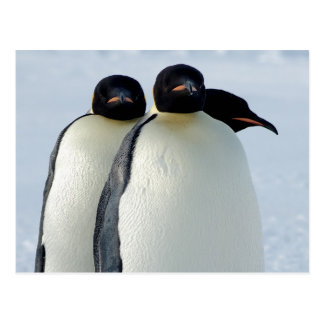 Emperor Penguins Huddled Postcard