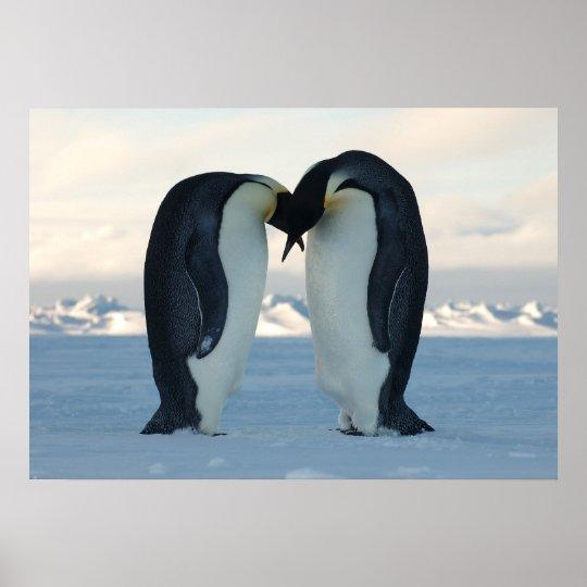 Emperor Penguins Kissing Poster