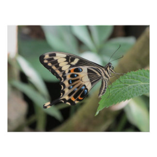 Emperor Swallowtail Butterfly Poster