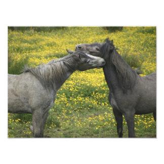 En Irlanda occidental, dos caballos nuzzle en a Fotografías