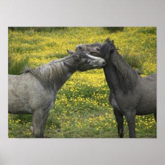 En Irlanda occidental, dos caballos nuzzle en a Póster