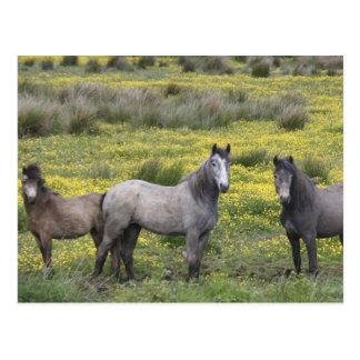 En Irlanda occidental, tres caballos con de largo Postal