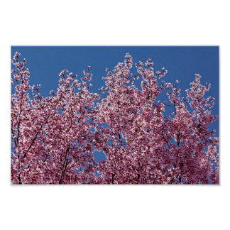 En la teja japonesa azul de las flores de cerezo poster
