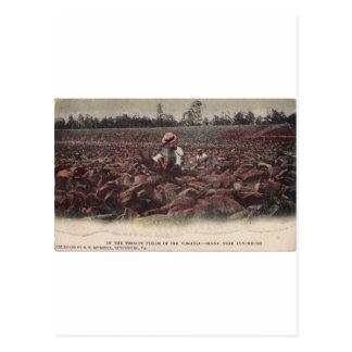 En los campos de tabaco de Virginia vieja Tarjeta Postal