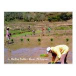 En los campos del arroz - Ilocos, postal de Filipi