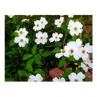 En los flores del Dogwood del ~ del jardín Postales