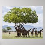 En safari en el parque nacional de Mikumi en Tanza Posters