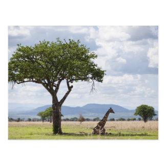 En safari en el parque nacional de Mikumi en Tanza Postales
