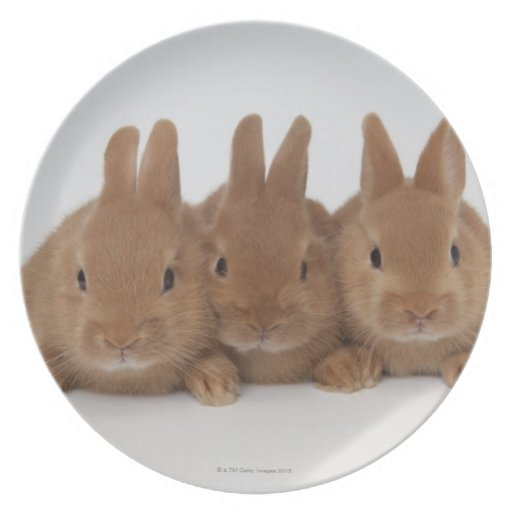 Enanos de Rabbits.Netherland Plato