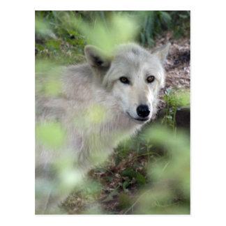 Encanto del lobo postales