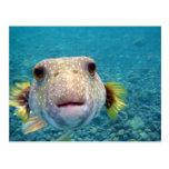 Encima de cara cercana de un pescado Arothron Hisp Postales