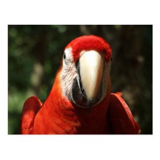 Encima de Macaw cercano y personal del escarlata Tarjetas Postales