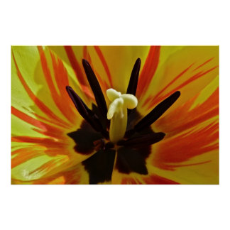 Encima de tulipán cercano póster