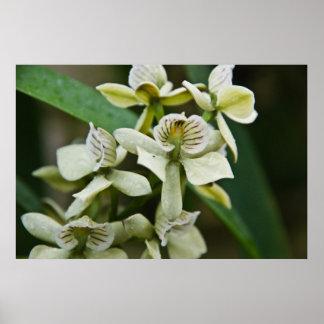 Encyclia Livida Orchid Print