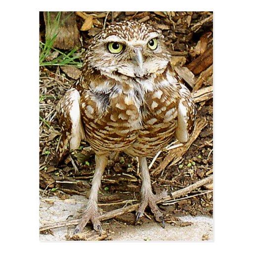 Endangered Burrowing Owl Post Card