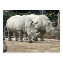 Endangered Northern White Rhinos Postcard