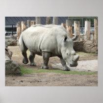Endangered Northern White Rhinos Poster