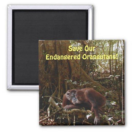 Endangered Orangutans Primates Wildlife Art Magnet