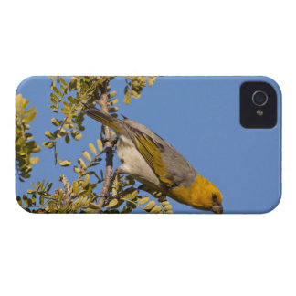 Endangered palila bird on branch iPhone 4 covers