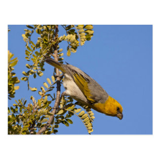 Endangered palila bird on branch postcards