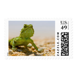 Endemic Male Namaqua Agama In The Sunlight Postage