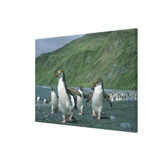 Endemic real de los pingüinos (schlegelii del Eudy Lona Estirada Galerias