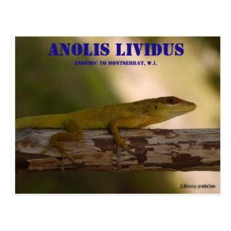 Endemic species Anolis lividus Postcard