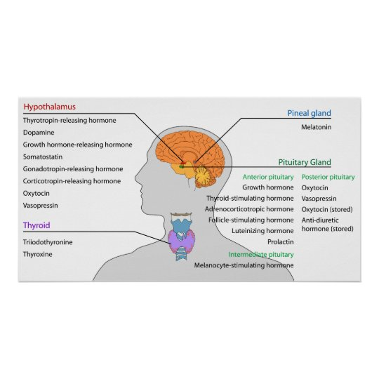 Endocrine Glands & Hormones of the Head and Neck Poster | Zazzle.com