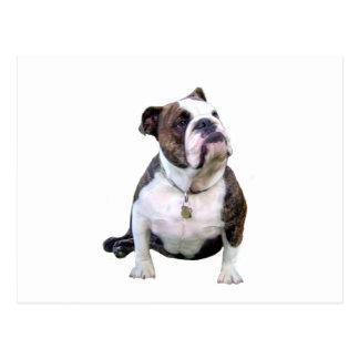 Engish Bulldog - brown and white Postcard