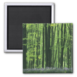 England, Beech forest & Bluebells 2 Inch Square Magnet