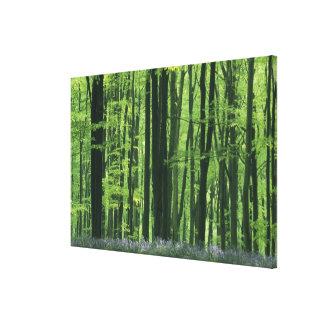England, Beech forest & Bluebells Canvas Print