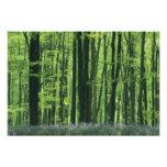 England, Beech forest & Bluebells Photo Print
