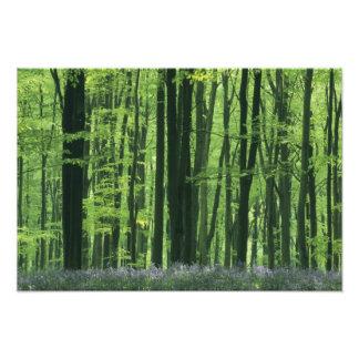 England, Beech forest & Bluebells Photographic Print