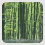 England, Beech forest & Bluebells Square Sticker