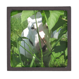 English Bull Terrier Peeking Through the Leaves Gift Box