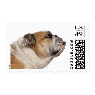 English Bulldog (6 years old) Stamp