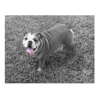 english bulldog named Gucci Post Card